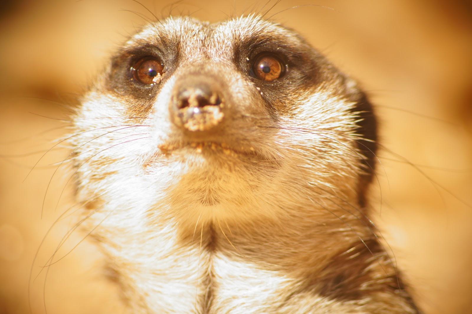royalty free image of a meerkat