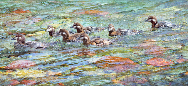 Harlequin Duck brood (c) John Ashley