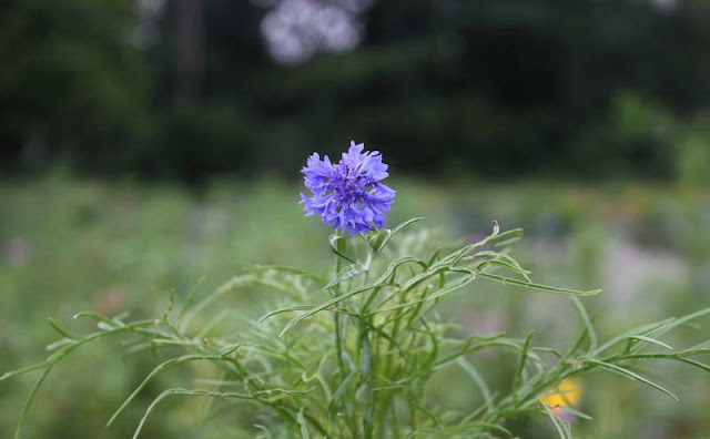 Cornflower Flowers Pictures