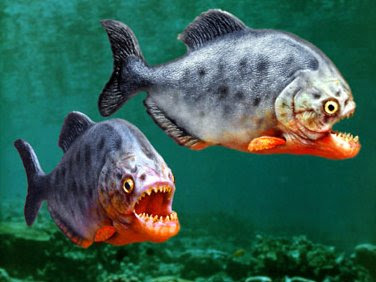 Piranha true story dangerous ghost fish from amazon for Dangerous fish in the amazon