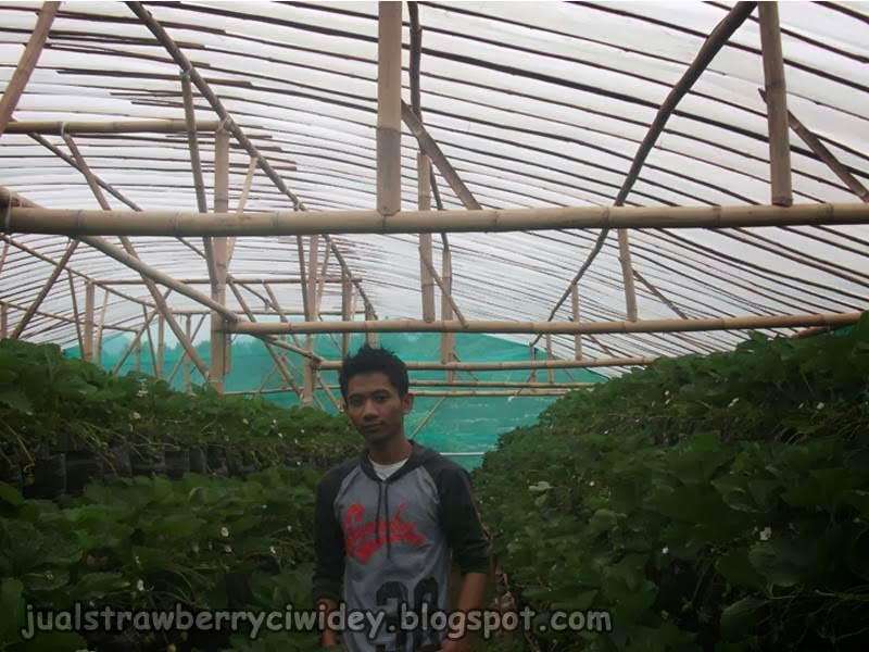jual strawberry
