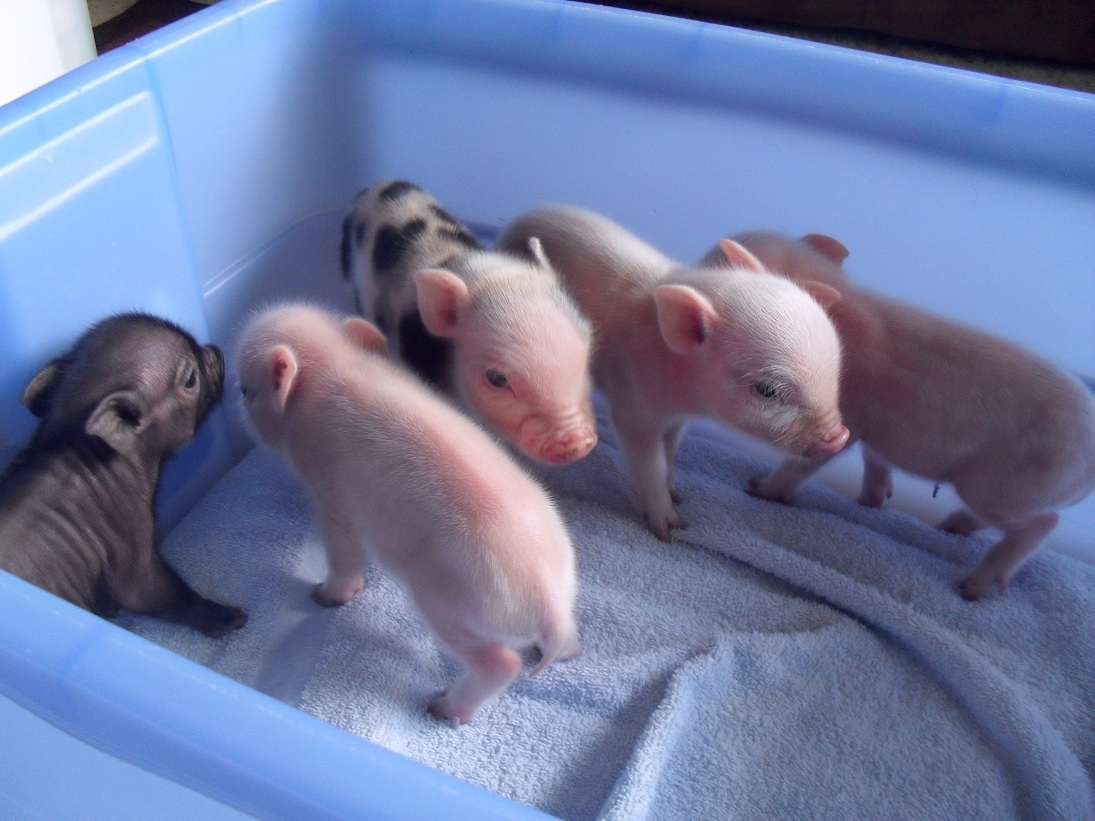 Pink Miniature Pigs