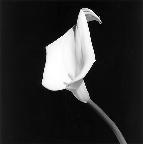 Maurizio Pecoraro - Spring Summer 2013 Fashion Show - Robert Mapplethorpe - Calla Lily, 1987 - Robert Mapplethorpe Foundation