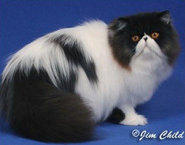 Gambar Kucing Persia godean.web.id