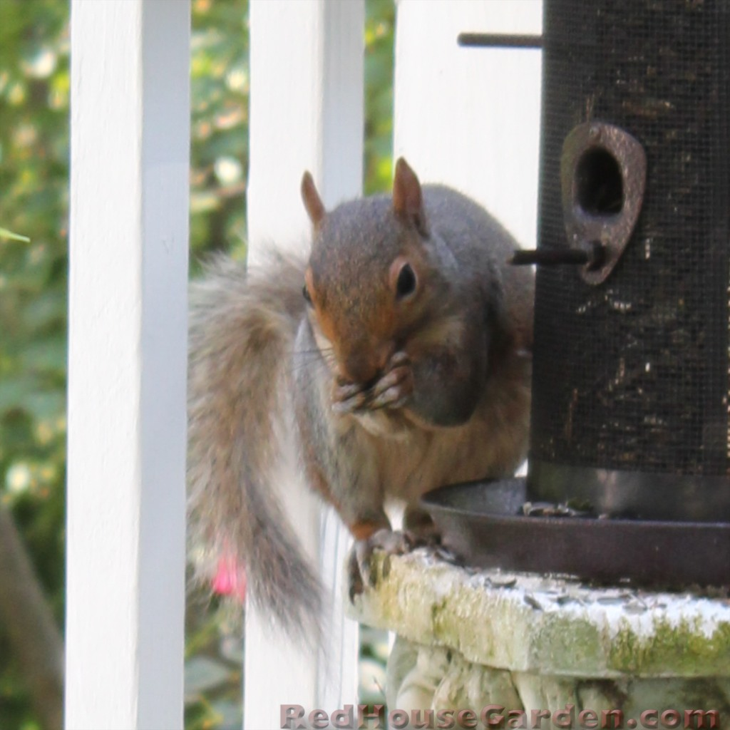 Red House Garden To Repel A Squirrel