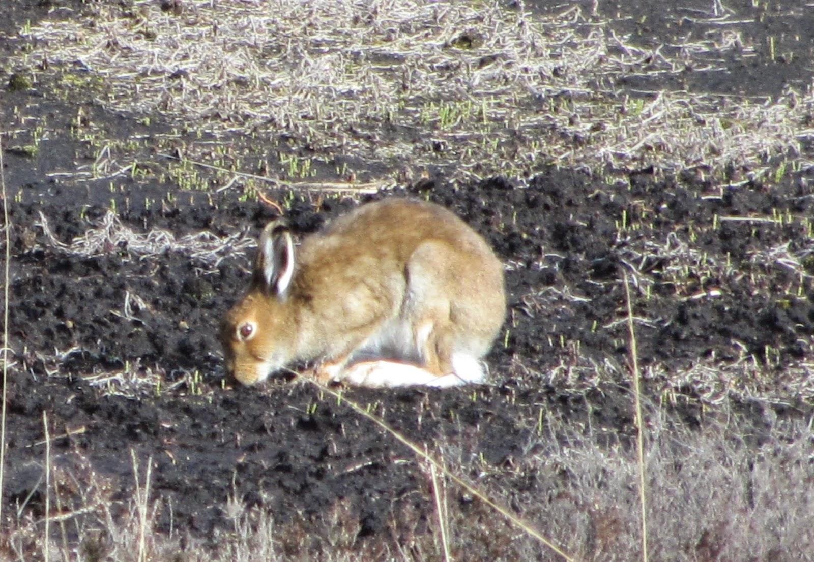 Irish Hare Lough Boora