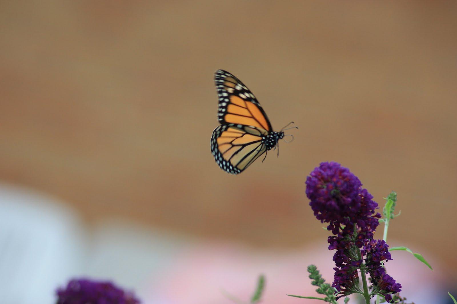 Butterflywatching: Monarch Flight
