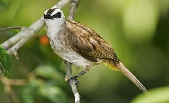 Foto Burung Trucukan Terbaik