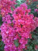 Bunga Bougenville Hal unik Citra Indah