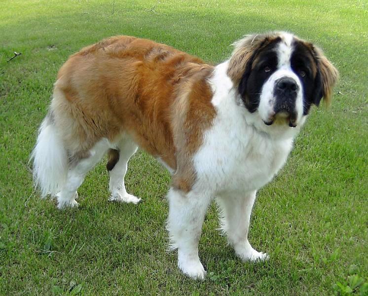 St. Bernard (dog)