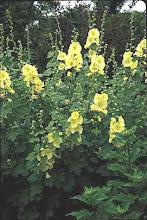 Alcea rugosa-Russian Hollyhock