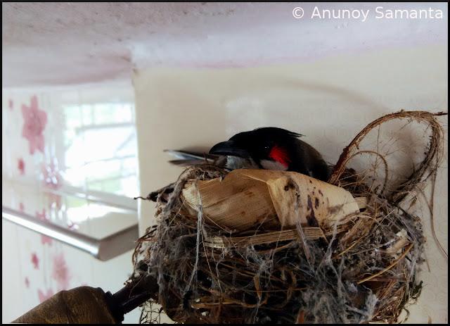 Bulbul Hatching her three Eggs in my Washroom