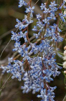 Blue Smokebush (Conospermum amoenum)