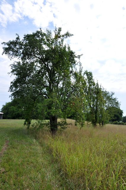 Pear Trees Hickory Ridge Studio