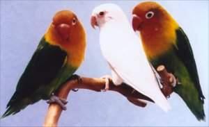 perawatan harian untuk burung lovebird   burung kicau