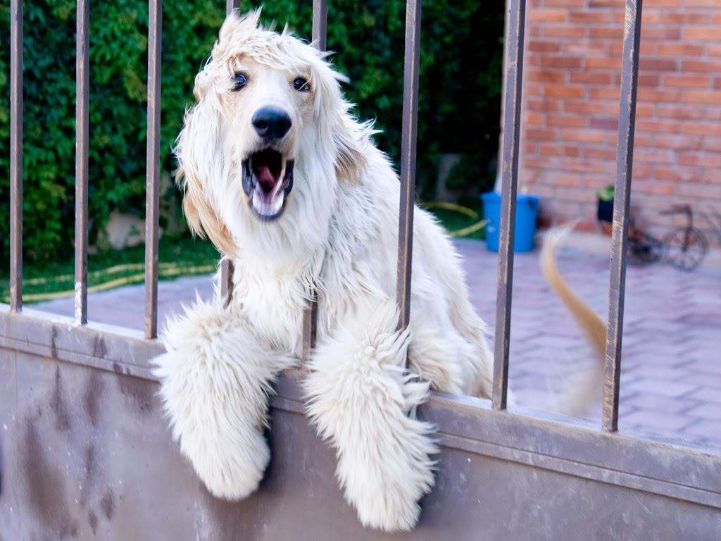 Cómo saber si mi perro me quiere: cuidados y nombres para tu mascota. Perro ladrando