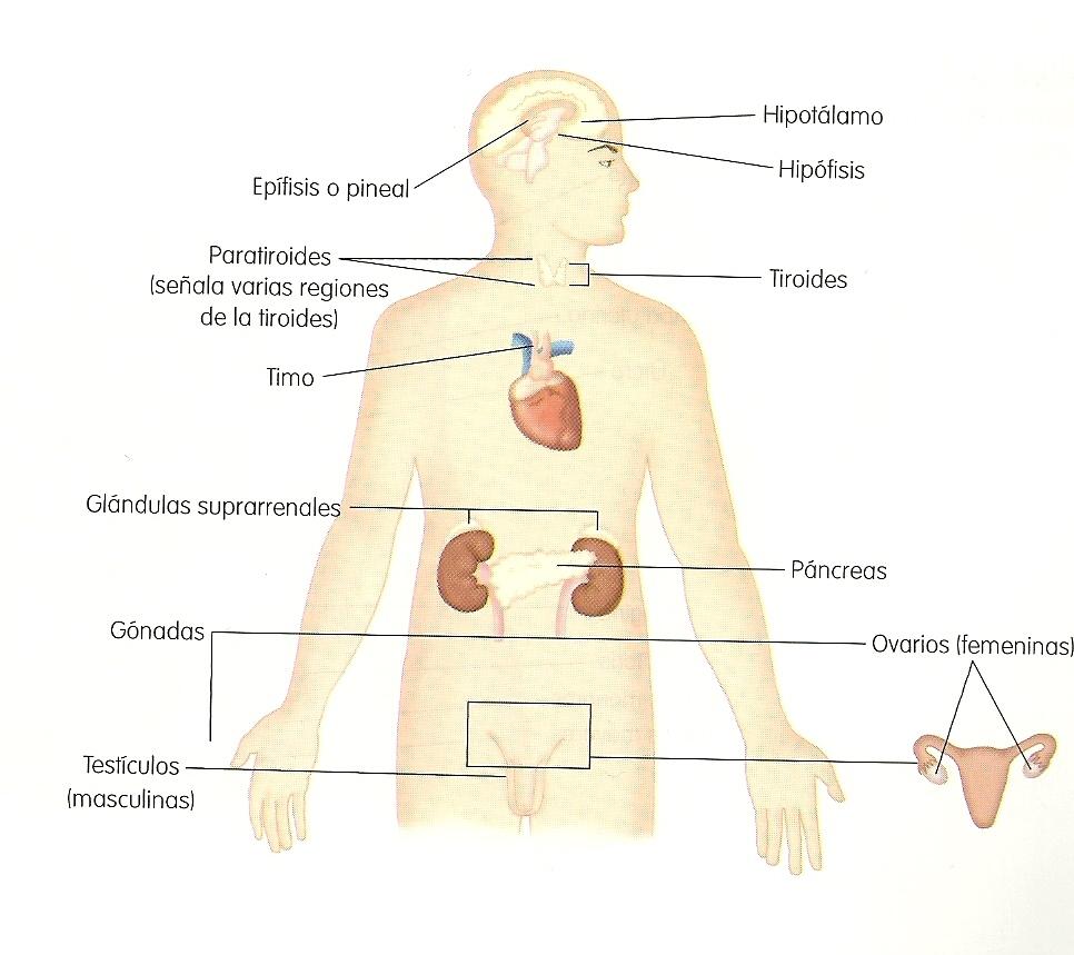 Temario de Edu. Para la salud: I UNIDAD. BASES DE ANATOMIA Y ...