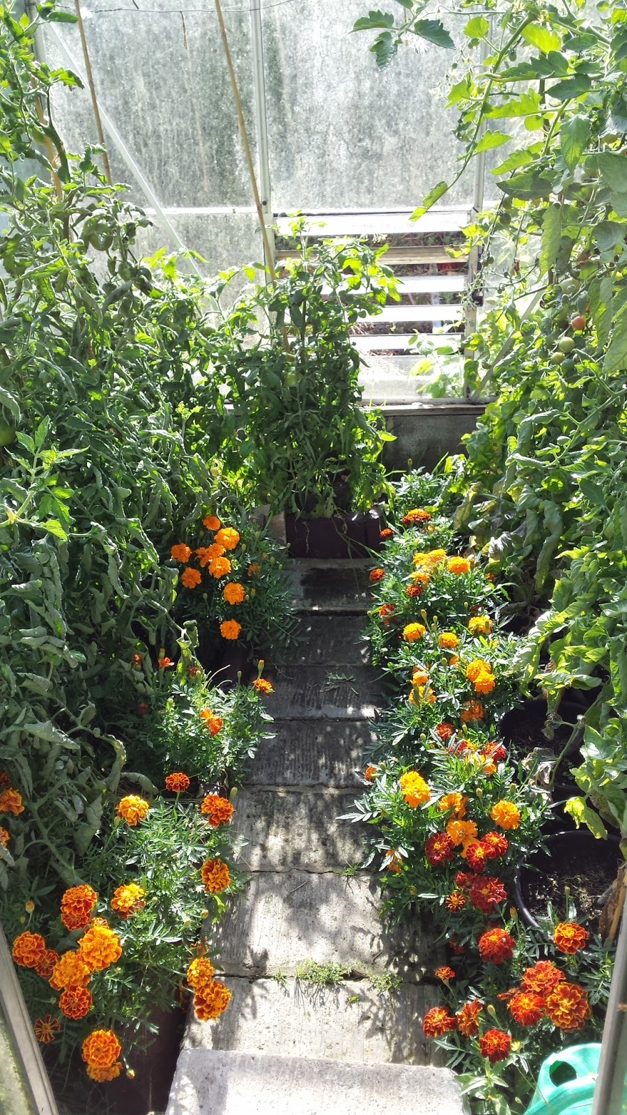 French Marigolds and Tomatoes