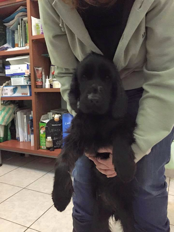 adozione cane cocker femmina bari centro italia