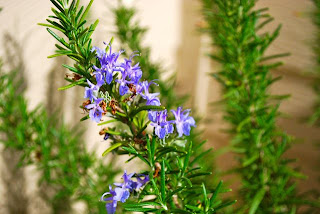 rosemary, cooking, herb