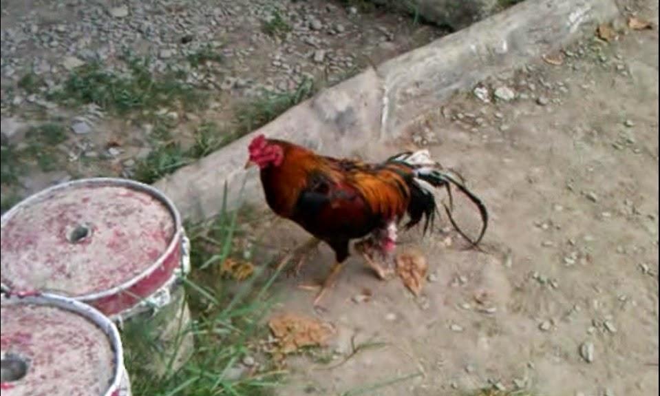 inilah foto ayam jago berkaki tiga
