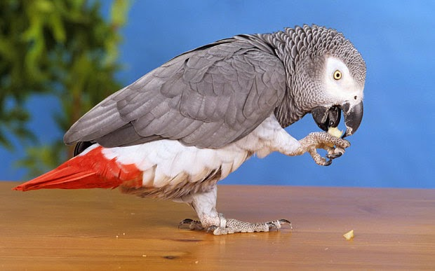 The parrot, Nigel, spoke with a British accent when it disappeared from its California home four years ago. The bird, an African gray parrot, was recently reunited with its owner and now it speaks Spanish.