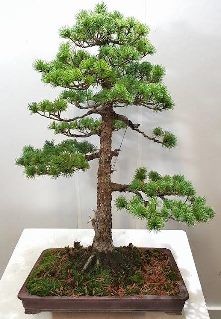 bonsai recto formal, conifera