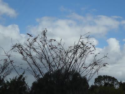 Yellow Plume Grevillea (Grevillea eriostachya)