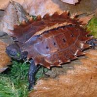 Heosemys spinosa - Tortuga espinosa