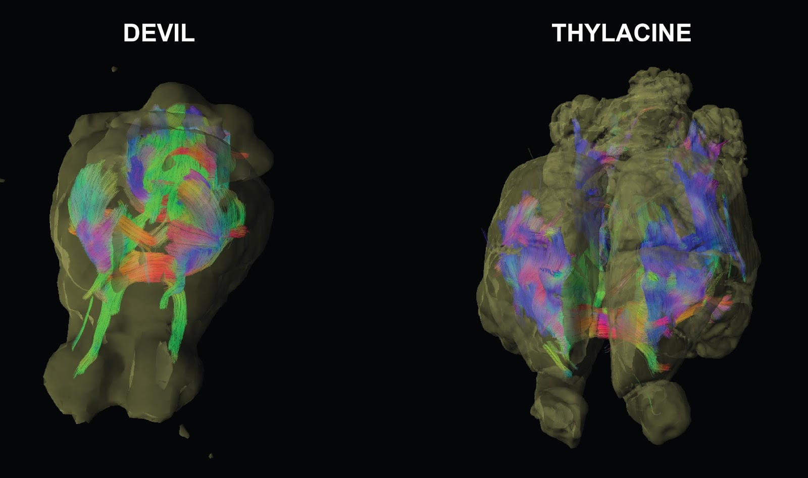 reconstruction of the neural pathways of the Tasmanian devil (left) and the Tasmanian tiger