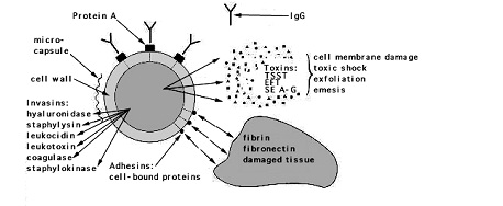 dentalaka: Gram positive bacteria