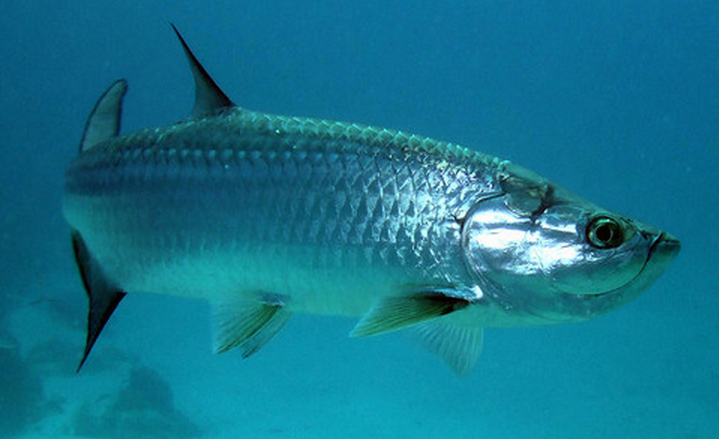 Fish identification for Tarpon fish pictures