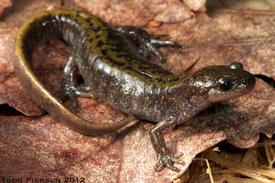 Long toed Salamander