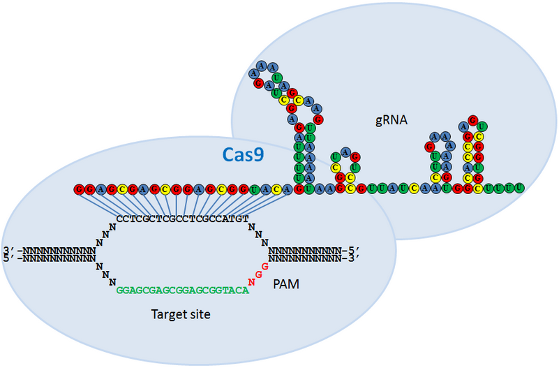 CRISPR: Cas9 and Guide Nuclease
