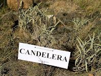 """Exemplars de Candelera """"Phlomis lychnitis"""""""