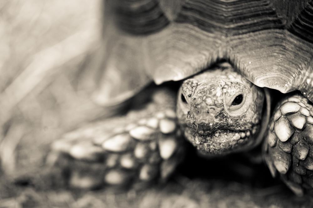African Sulcata Tortoise Habitat Sulcata African Spurred Tortoise