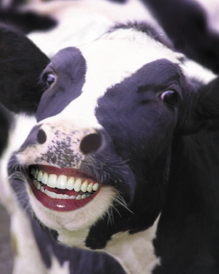 """Above: Is it weird if this cow is saying, """"Cheese!"""" for the camera?"""