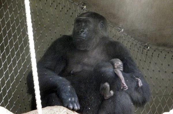Mãe-gorila não consegue abandonar o corpo de seu bebê que faleceu