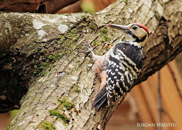 White-backed Woodpecker photography in Bulgaria by Iordan Hristov