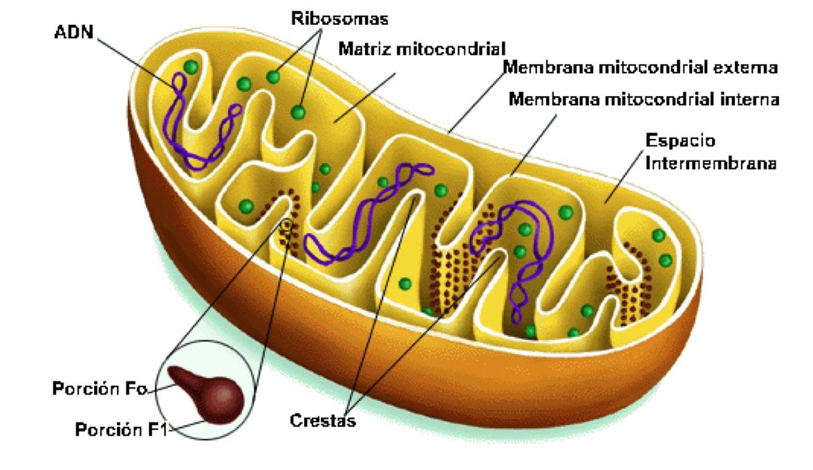 Resultado de imagen de ultraestructura de la mitocondria