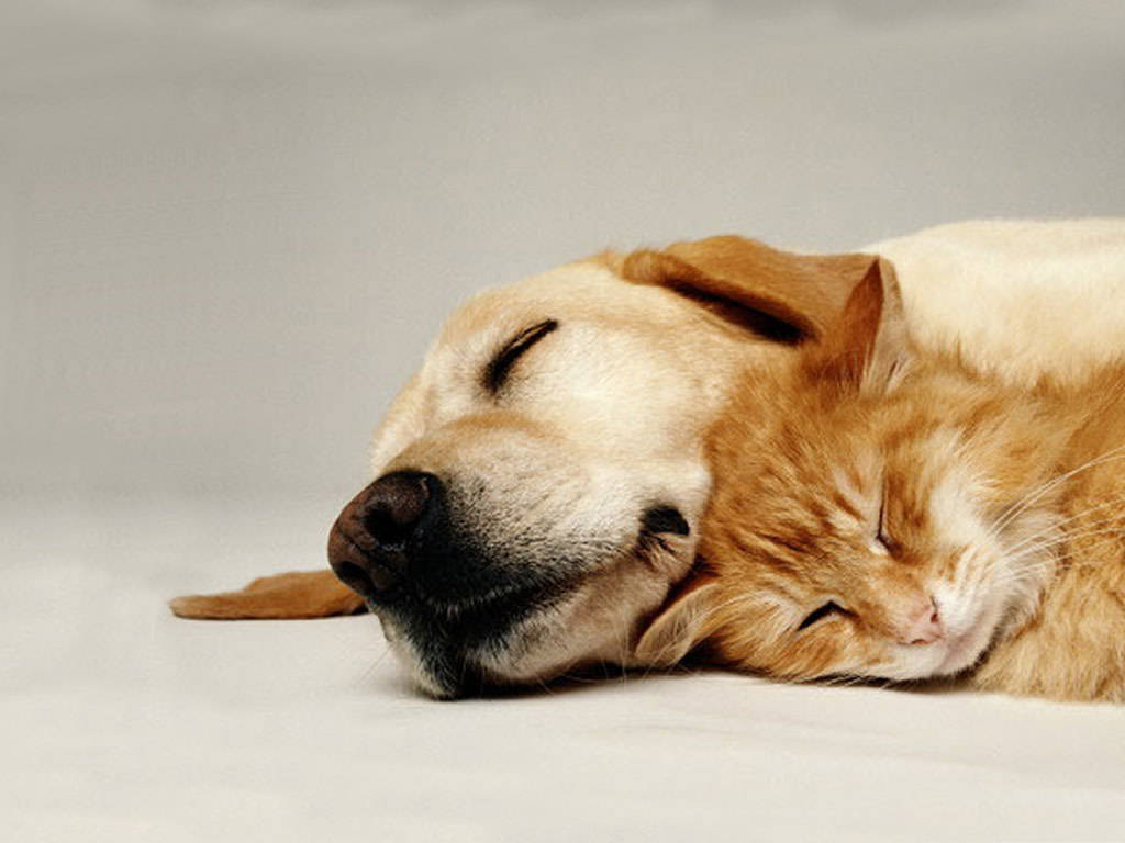 Backgrounds of Cats And Dogs Dog Sleeps With Cat Dog