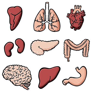 Organ Heart