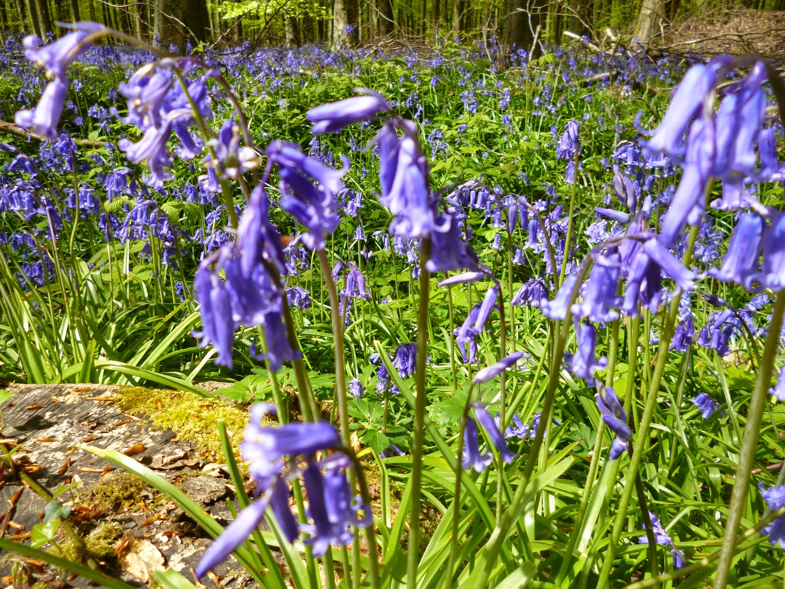 english woodland bluebells