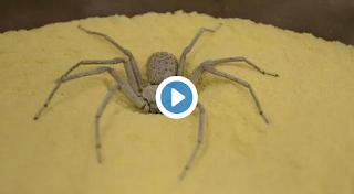 شاهد ماذا يفعل العنكبوت إذا أحس بأي خطر يهدد حياته !!