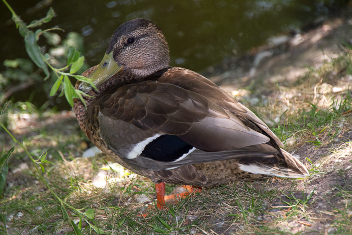 Belgian Duck