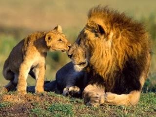 http://yusufsila-binatang.blogspot.com/2011/07/mengenal-singa.html