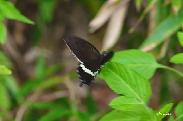雞南山的玉帶鳯蝶