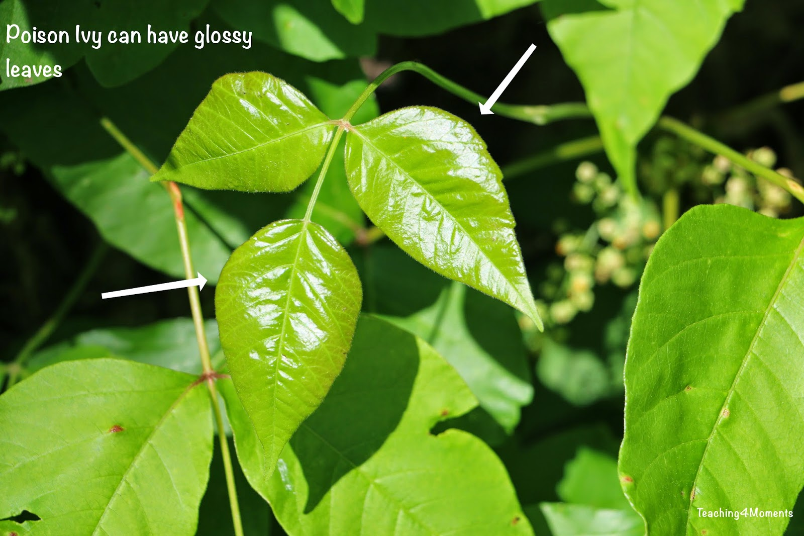 Teaching 4 Moments-Poison Ivy with glossy leaves