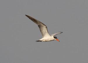 Caspian Tern (2013)