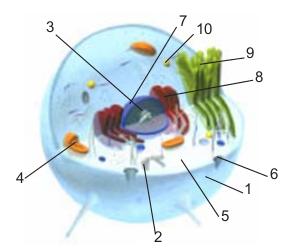 dilakukan oleh Robert Hooke pada tahun  Sel - Materi Biologi Dasar